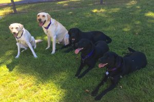 5 labs laying in the grass